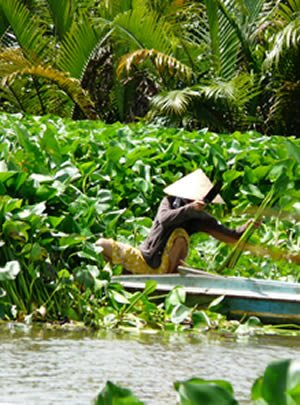 Harvesting the water hyacinth